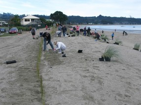 Dune Restoration planting day at Cooks Beach, New Zealand